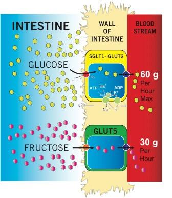 Schemat działania transporterów dla glukozy i fruktozy